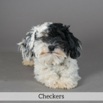 Checkers Best in Show Dog