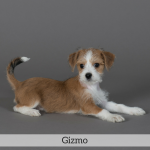 Gizmo Best in Show Dog