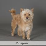 Pumpkin Best in Show Dog