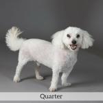 Quarter Best in Show Dog