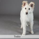 Teddy Best in Show Dog