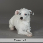 Tinkerbell Best in Show Dog