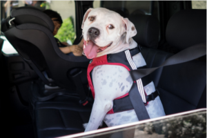 Dog wearing a car safety harness in the backseat of a car