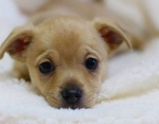 Chihuahua in foster care at The Animal Foundation