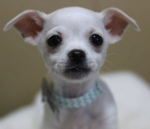 White Chihuahua foster puppy at The Animal Foundation