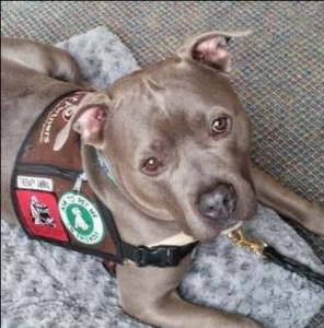 Pit bull terrier, Jeffrey, a therapy dog.