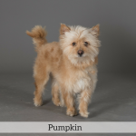 Pumpkin Best in Show Dog
