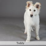 Teddy Best in Show Dog