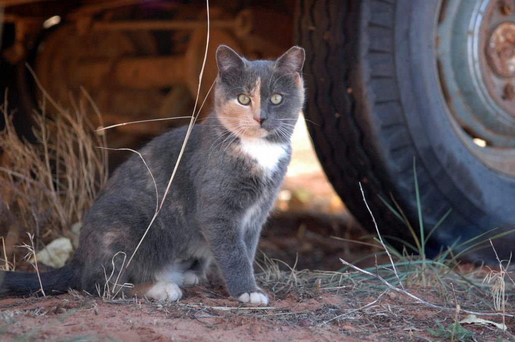 Cat that participates in the Working Cats Program.